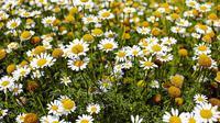 ilustrasi jenis bunga untuk bahan kecantikan/pexels