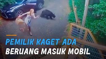 VIDEO: Beruang Masuk Mobil, Buat Pemilik Mobil Kaget