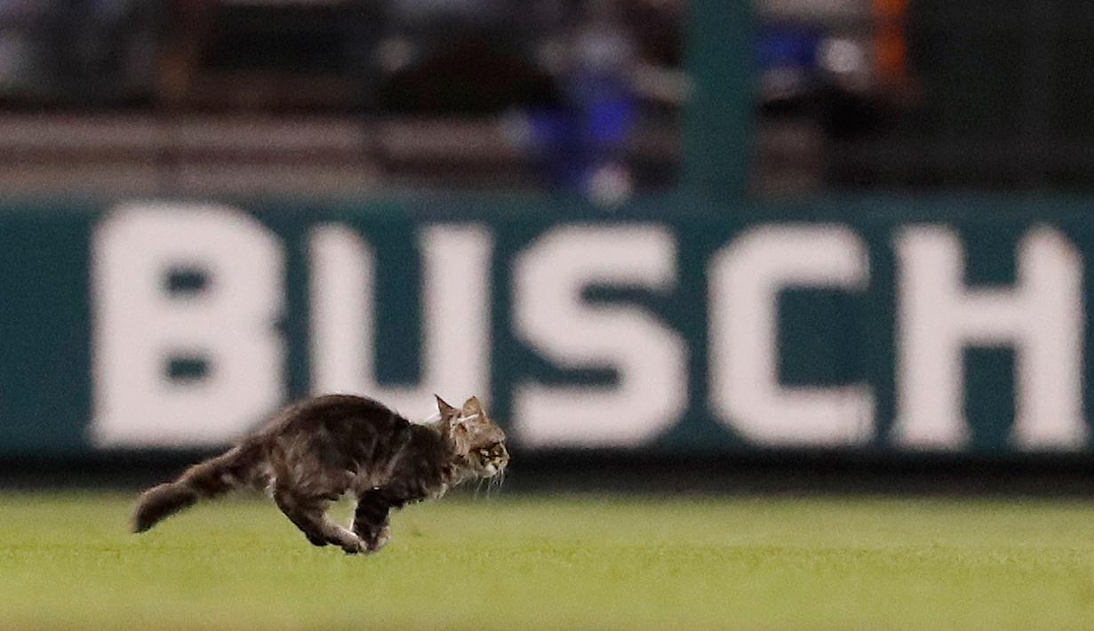 Seekor anak kucing berlari melintasi lapangan di Stadion Busch saat pertandingan semifinal keenam di antara St. Louis Cardinals dan Kansas City Royals di St. Louis (9/8). (AP Photo / Jeff Roberson)