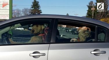 Anjing ini menjadi pusat perhatian warga sekitar lantaran membuat kebisingan dengan membunyikan klakson mobil. Ini dilakukan si anjing lantaran kesal dengan pemiliknya.