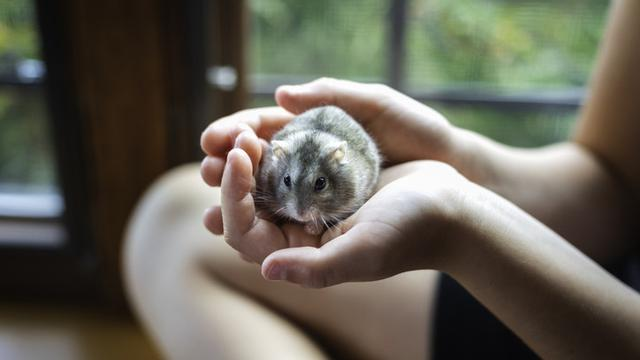 Jenis Hamster Langka dan Harganya
