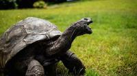 Seekor kura-kura raksasa Seychelles bernama Jonathan, berjalan di rumput di kediaman Gubernur Kerajaan Inggris, Saint Helena (20/10). Kura-kura berusia 185 tahun mampu berjalan dengan kecepatan antara 0,5-1 mph. (AFP PHOTO / Gianluigi Guercia)