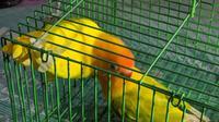 Love bird inilah yang ditukar dengan Mobil CRV 2009. (Dian Kurniawan/Liputan6.com)