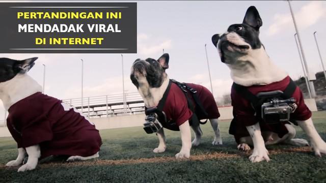 Pertandingan sepak bola anjing ini mendadak viral di internet, mengapa?