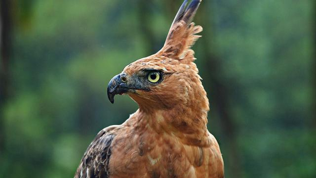 63 Foto Gambar Burung Rajawali Jpg HD Paling Unik