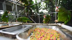 Burung beo Puerto Rico makan di pusat penangkaran di Iguaca Aviary, El Yunque, Puerto Rico, (6/11). Badai Maria yang melanda Puerto Rico menghancurkan habitat dan sumber makanan mereka. (AP Photo/Carlos Giusti)