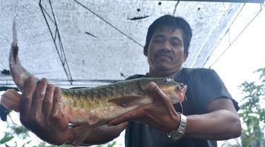 Pekerja di pusat pembibitan ikan Dewa menyeleksi indukan yang siap memijah. (Foto: Liputan6.com/Muhamad Ridlo)