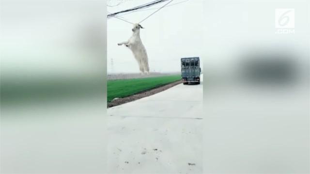 Seekor kambing mencoba kabur dari truk yang membawanya. Alih-alih bebas berkeliaran, tanduk kambing tersangkut kabel listrik dan membuat hewan itu tergantung di udara.