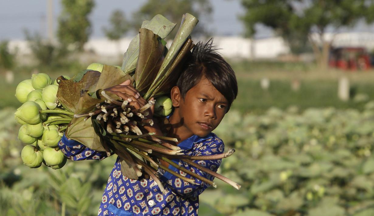 Seorang anak membantu orangtuanya mengumpulkan bunga teratai di Desa Krasaing Chrum, pinggiran Phnom Penh, Kamboja, Kamis (22/7/2021). Bunga teratai tersebut selanjutnya dibawa ke pasar untuk dijual. (AP Photo/Heng Sinith)