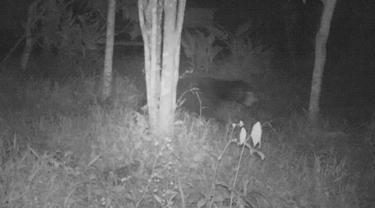 Beruang madu terpantau melintasi kamera jebak BKSDA Agam. (Liputan6.com/ BKSDA Agam)
