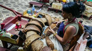 Seorang pekerja pabrik cerutu memilih daun tembakau di Havana, Kuba, Kamis (1/3). (ADALBERTO ROQUE/STR/AFP)
