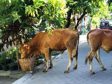 Citizen6, Karanganyar: Sapi tanpa didampingi pemiliknya tersebut berjalan dan mencari makanan dari tempat sampah warga. (Pengirim: Alvein Damardanto)