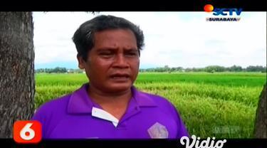 Lahan pertanian padi di Madiun, Jawa Timur. yang kini dalam kondisi siap panen, diserang hama wereng coklat. Petani di daerah tersebut terancam mengalami kerugian dan hama wereng coklat tersebut menyerang tanaman padi sehat sepekan terakhir.