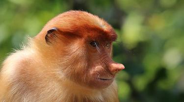 Ilustrasi Proboscis | Wikimedia Commons