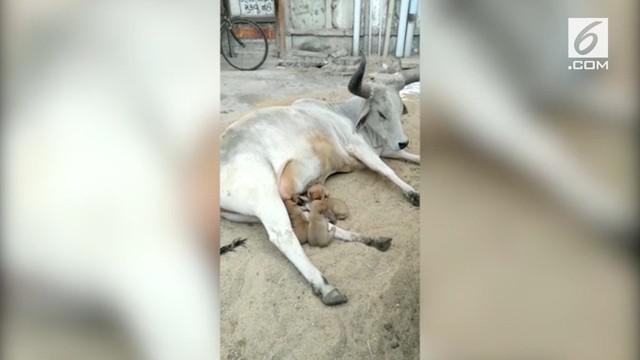 Seekor sapi menyusui para anak anjing di India. Anak anjing yang berjumlah empat ekor itu ditinggal mati induknya.