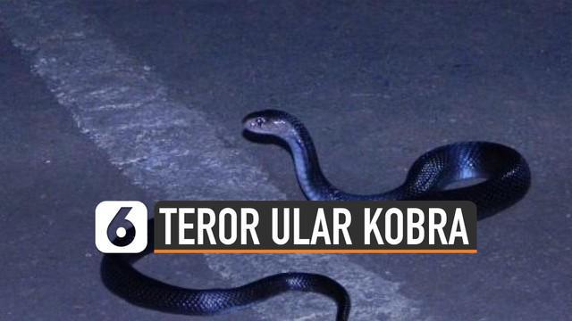 Kemunculan ular kobra membuat geger di beberapa daerah. Munculnya anak kobra di akhir tahun ternyata satu hal yang lumrah.