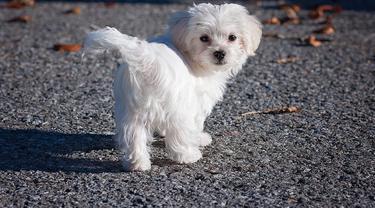 Jenis Anjing Kecil Lucu