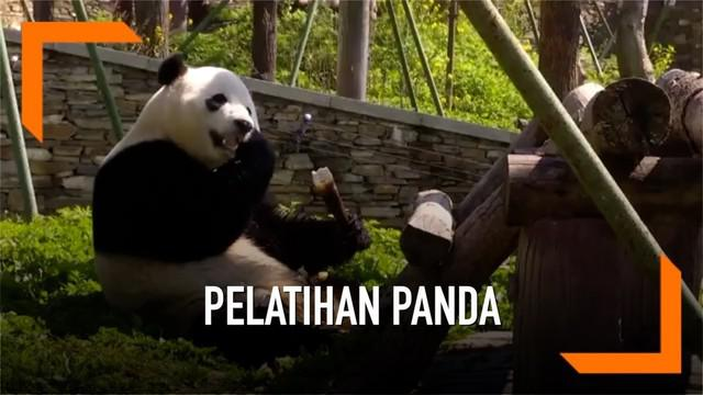 Lima pasang ibu-bayi panda raksasa menerima pelatihan untuk kembali ke alam liar pada tahun 2019 dan 2020. Hal ini dilakukan pihak pusat konservasi dan penelitian china untuk mengurangi angka kepunahan panda raksasa.