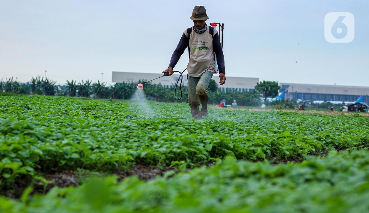 Petani menyemprotkan cairan pestisida di lahan pertanian bayam, kawasan Kota Tangerang, Jumat (27/11/2020). Badan Pusat Statistik mencatat upah nominal harian buruh tani nasional pada Oktober 2020 naik sebesar 0,09 persen dibanding upah buruh tani September 2020. (Liputan6.com/Angga Yuniar)