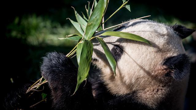 54 Koleksi Gambar Hewan Panda Dan Penjelasannya Terbaik