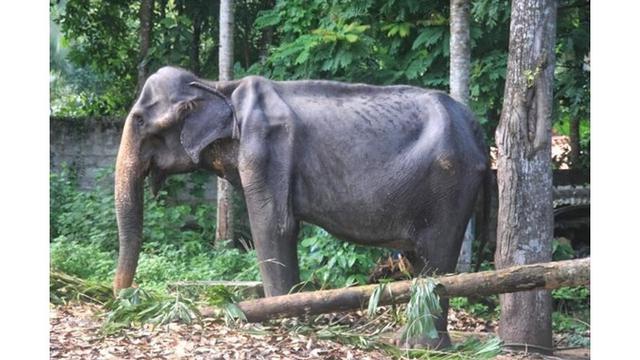 Tragis, Gajah Kurus yang Dipaksa 'Bekerja' Tiap Malam Akhirnya Mati