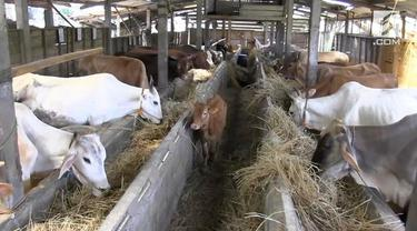 Peternak sapi potong di desa Polosiri, kecamatan Bawen, kabupaten Semarang, Jawa Tengah sejak sebulan mengalami kesulitan mendapatkan rumput segar, sebagai pakan ternak akibat musim kemarau.
