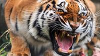 Harimau dengan gigi emas (Sumber: Dailymail)