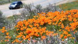 Sebuah mobil melewati ladang poppy dekat Antelope Valley California Poppy Reserve saat berlangsungnya mekar musim semi tahunan di Lancaster, California, 16 April 2020. Mekarnya poppy tahun ini disiarkan secara langsung lantaran penutupan ladang akibat pandemi Covid-19. (Frederic J. BROWN/AFP)