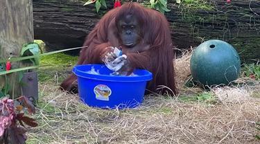 viral video orangutan cuci tangan