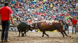 Dua ekor sapi Herens saling mengunci tanduk mereka saat bertanding pada babak kualifikasi finale nationale de la race d'Herens di Aproz, Swiss, Minggu (5/5/2019). Herens merupakan jenis sapi yang dikenal memiliki sifat agresif. (Valentin Flauraud/Keystone via AP)