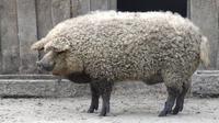 Babi mangalitsa yang memiliki penampilan unik ini juga menjadi idola karena rasa dagingnya sekaligus kegunaan bulunya.