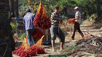Pekerja Palestina menurunkan buah kurma saat memanen dari pohonnya di perkebunan Al Zawayda, Jalur Gaza, Selasa (10/10). Hasil dari perkebunan ini digunakan memenuhi kebutuhan hidup warga di tengah perebutan wilayah perbatasan oleh Israel. (AP/Adel Hana)