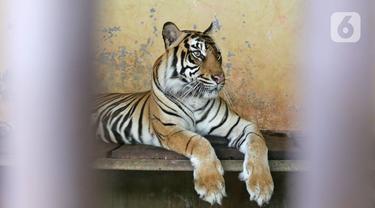 Dua Harimau di Ragunan Terpapar COVID-19