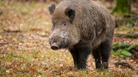 Peluru milik pemburu yang ditargetkan untuk babi hutan buruannya, salah sasaran dan mengenai wanita tersebut (sumber. Telegraph.co.uk)