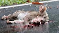Bayi monyet ini hanya bisa memekik saat induknya tak lagi bergerak. Ia mencoba membangunkan induknya, tapi percuma
