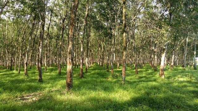 Pohon karet. (Foto Kementerian Pertanian)