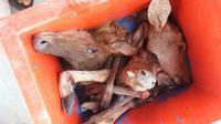 Petugas gabungan Taman Nasional Ujung Kulon (TNUK) bersama unsur TNI-Polri berhasil mengamankan 11 pemburu liar yang beroperasi di kawasan konservasi tersebut. (Liputan6.com/ Yandhi Deslataman)