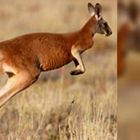 Dengan tubuh ramping yang efisien untuk bergerak cepat, kanguru modern lebih seperti cheetah