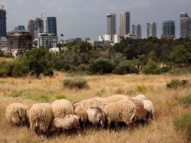 Pemandangan saat sekelompok kecil domba merumput di sebuah ladang yang berada di antara gedung pencakar langit Tel Aviv, Israel, Senin (28/5). (AP Photo/Oded Balilty)