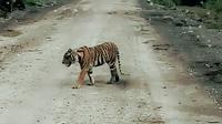 Harimau sumatera, Bonita, sebelum dievakuasi dari perkampungan di Kabupaten Indragiri Hilir. (Liputan6.com/Dok BBKSDA Riau/M Syukur)