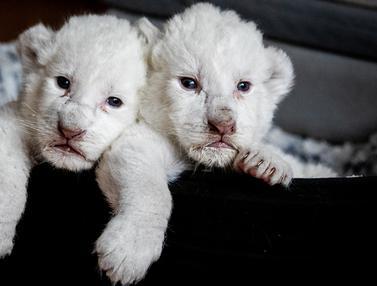 Bayi Singa Putih