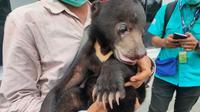 Anakan beruang madu yang ditemukan ditinggal indukannya, diserahkan ke kantor BKSDA Sumsel (Liputan6.com / Nefri Inge)
