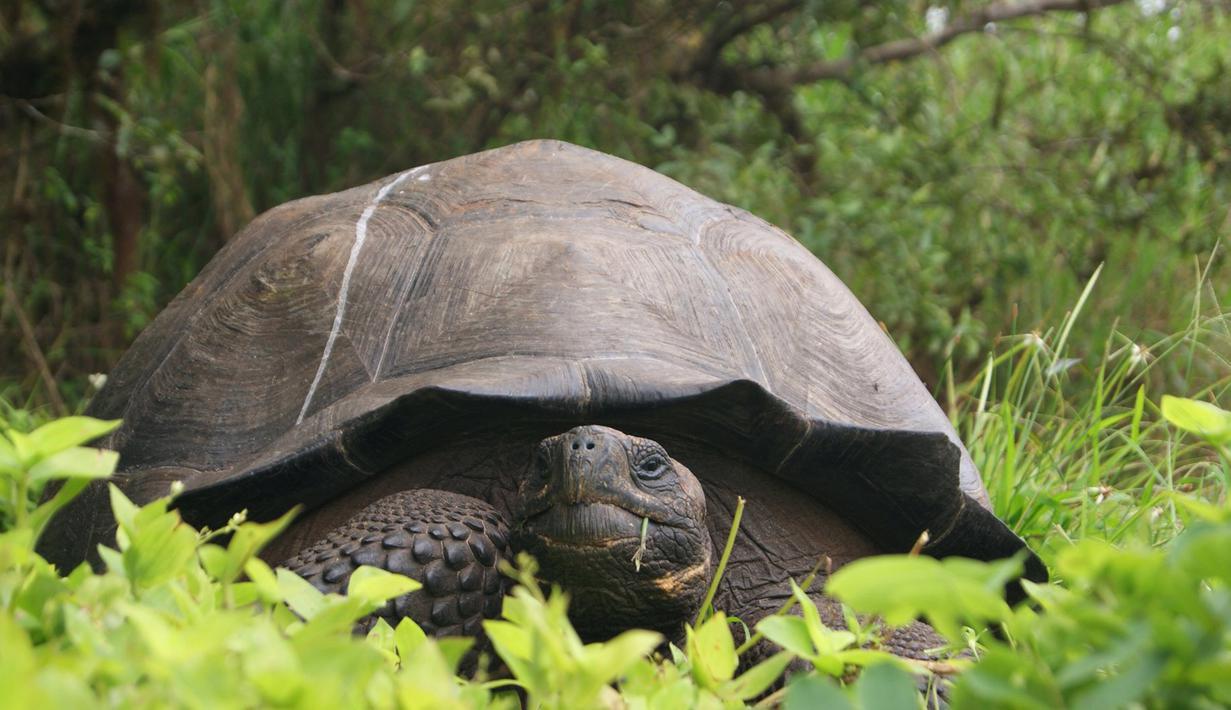 Kura-kura berukuran raksasa ditemukan di Pulau Santa Cruz, Kepulauan Galapagos pada 30 Agustus 2015. Terungkapnya spesies baru tersebut berkat data genetika yang dipakai para ilmuwan saat meneliti 250 kura-kura di sana. (REUTERS/Galapagos National Park)