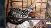Macan dahan  masuk perangkap di Kabupaten Limapuluh Kota. (Dok BKSDA Limapuluh Kota).