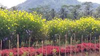 Petani di Bobosan, Banyumas menanam bunga-bungaan refugia untuk perangkap hama. (Foto: Liputan6.com/Widiarso untuk Muhamad Ridlo)