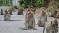 Sekawanan monyet di jalan sekitar Masjid Saka Tunggal, Cikakak, Wangon, Banyumas. (Foto: Liputan6.com/Muhamad Ridlo)