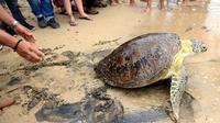 Petugas melepas penyu hijau di Pantai Kuta, Bali, Selasa (7/2). Penyu hijau (Chelonias mydas) menjadi salah satu satwa primadona yang sering diperdagangkan ilegal. (AFP PHOTO/ SONNY TUMBELAKA)