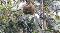 Durian Bawor di pekarangan warga Alasmalang, Banyumas. (Foto: Liputan6.com/Muhamad Ridlo)