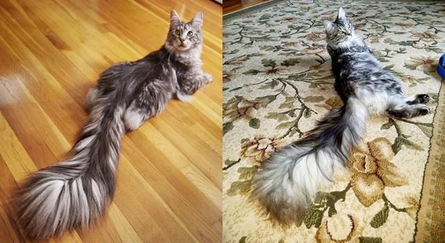Cygnus adalah kucing dengan ekor terpanjang di dunia tahun 2018/copyright odditycentral.com/Dr. Will Powers @starcats_detroit