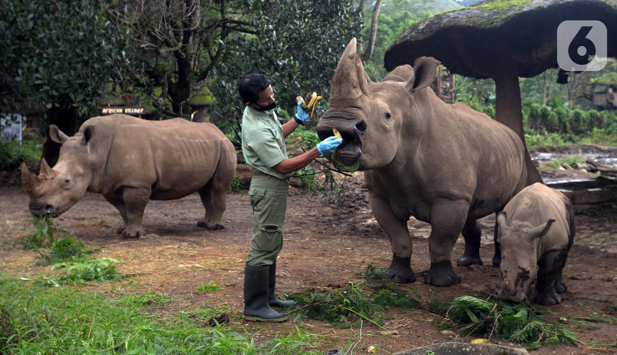 Keeper (perawat satwa) memberi makan Badak Putih (Ceratotherium Simum) di Taman Safari Indonesia, Bogor, Jawa Barat, Jumat (22/1/2021). Seekor bayi Badak Putih lahir di Taman Safari Indonesia pada 26 Oktober 2020 lalu. (merdeka.com/Imam Buhori)